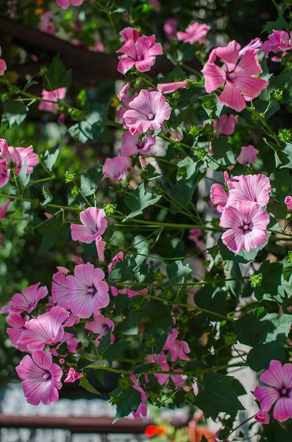 Восхитительные цветки лаватеры