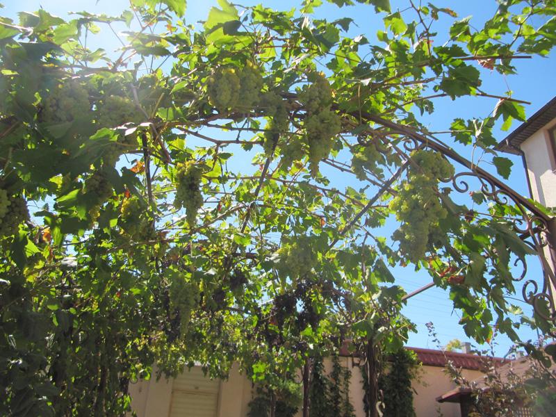 Виноград оплетает арки