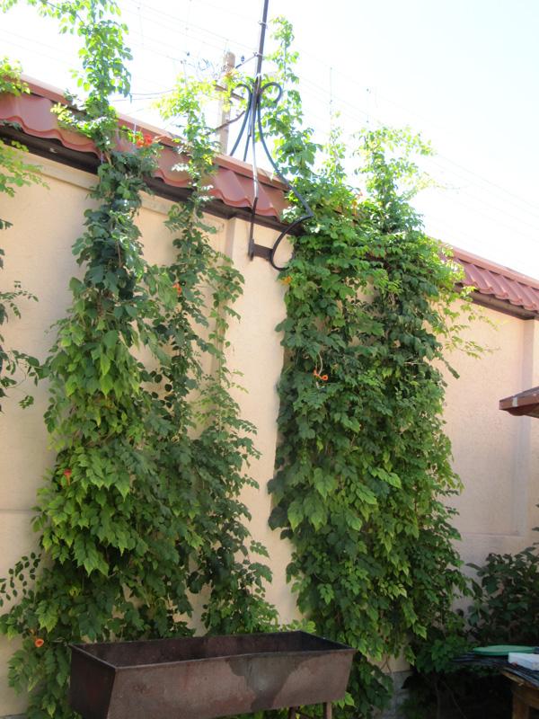 И стена винограду не преграда