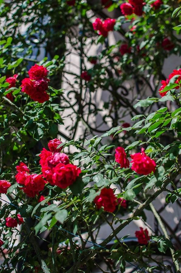Роскошный куст алых роз