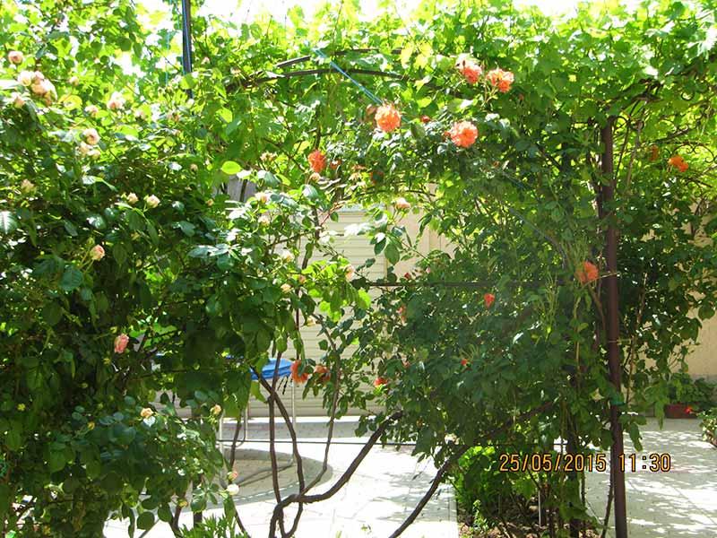 Солнечно-оранжевые розы