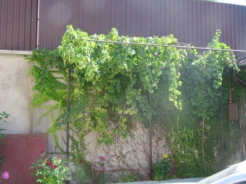 Забор, покрытый виноградом, смотрится чудесно