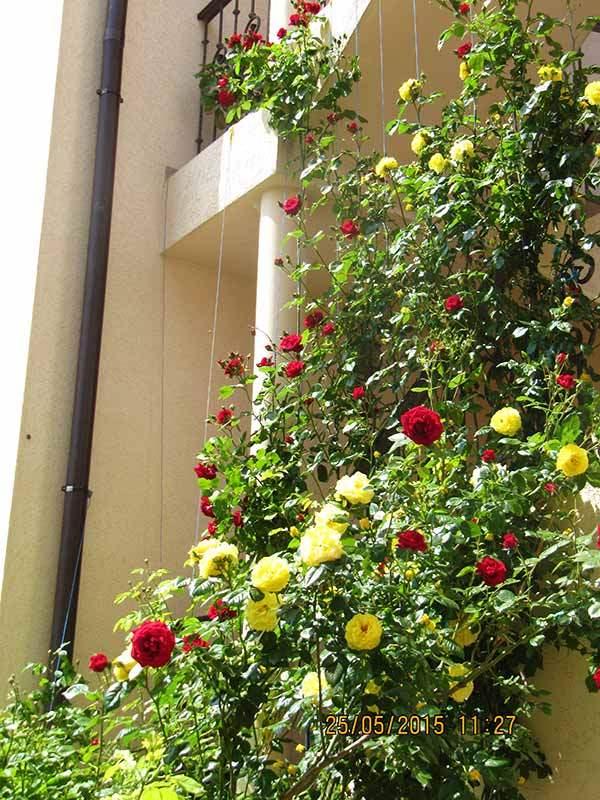 Розы на лестнице