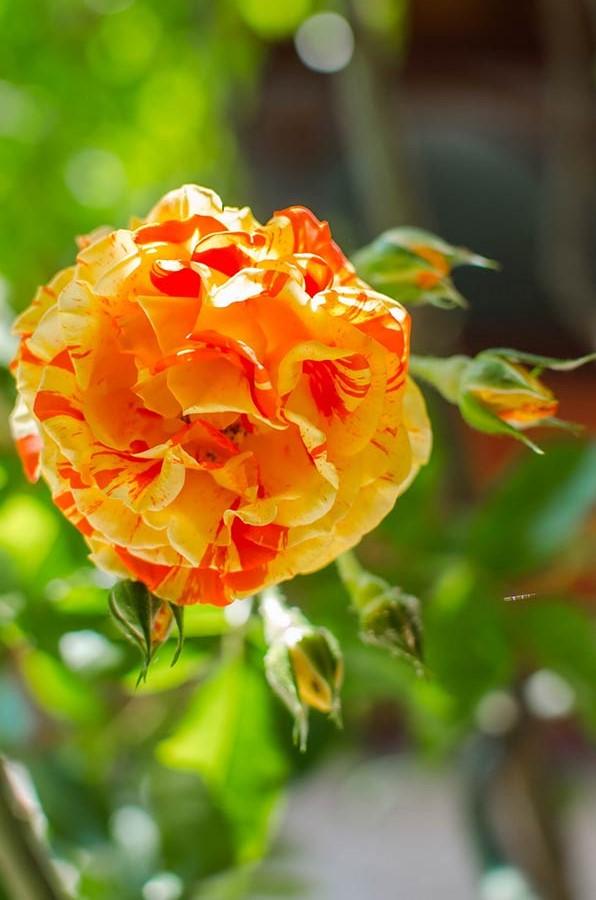 Царица цветов ласкает глаз