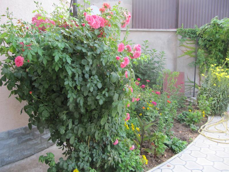 Вьющиеся розы стремятся ввысь