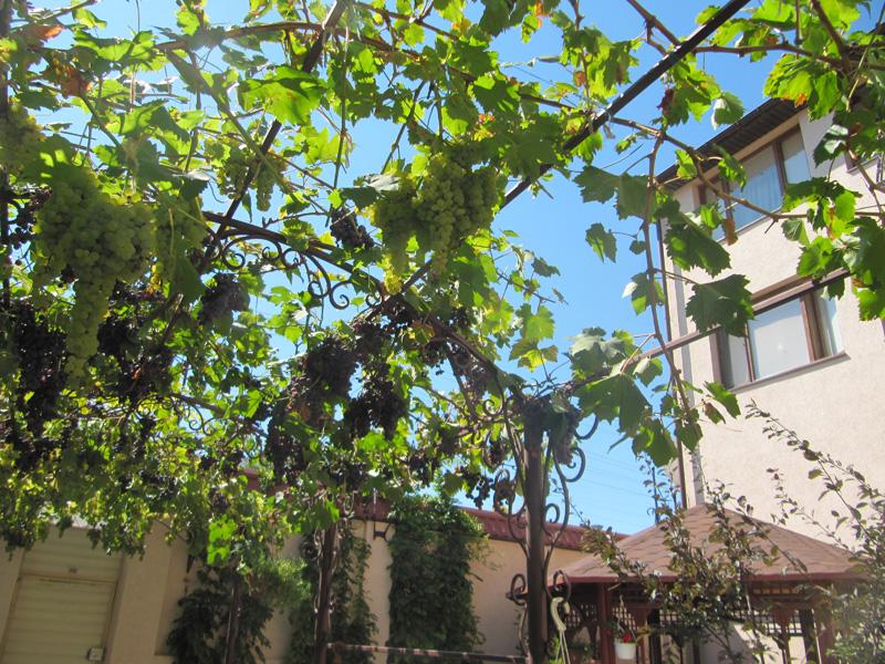 И протягивает спелые гроздья людям