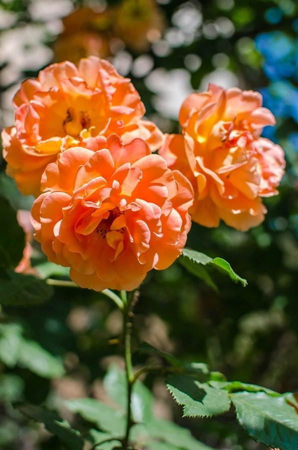 Разнообразие роз