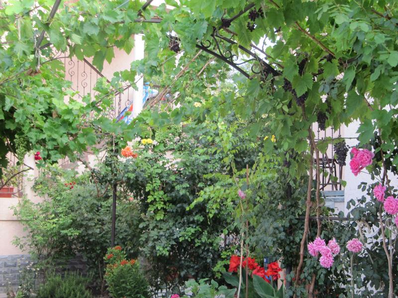Розы соседствуют с виноградом
