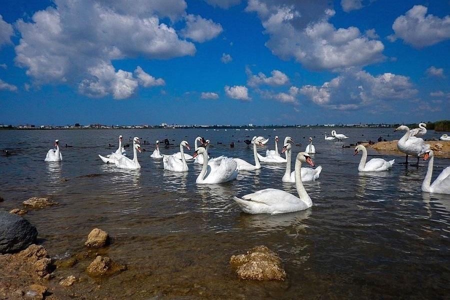 Евпатория - лебеди