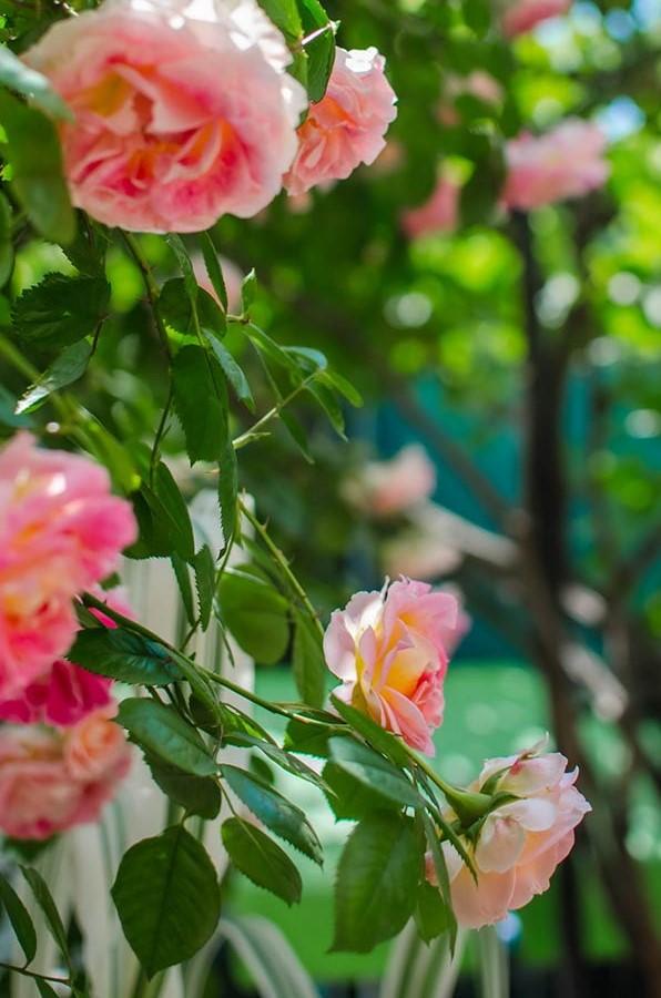 На территории усадьбы цветут розы разных оттенков и красок