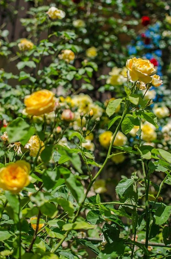 Пышный куст жёлтых роз