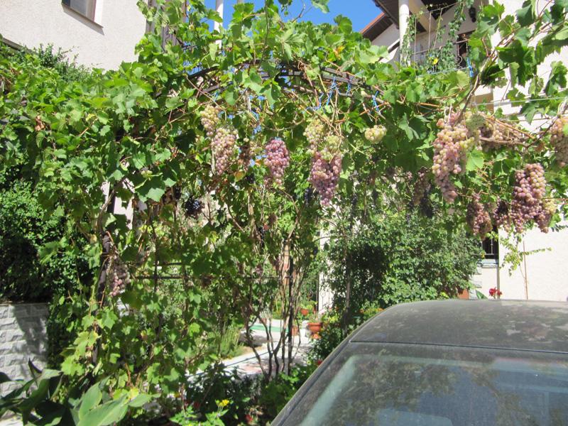 Виноградные гроздья украшают территорию
