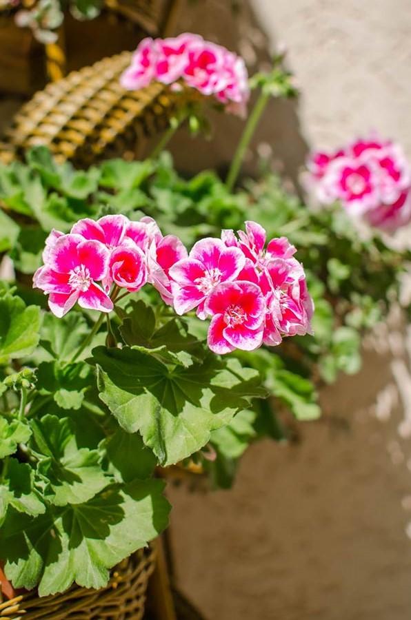 Цветущая розовая герань