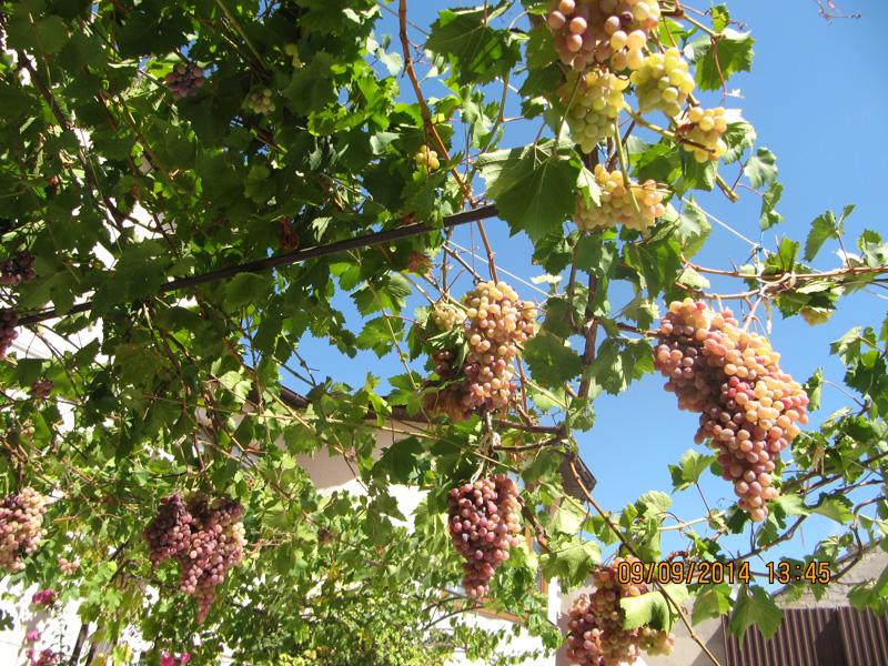 Каждый выберет себе виноградный сорт по вкусу