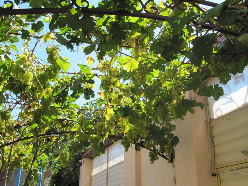 Кишмиш - потрясающий виноград без косточек