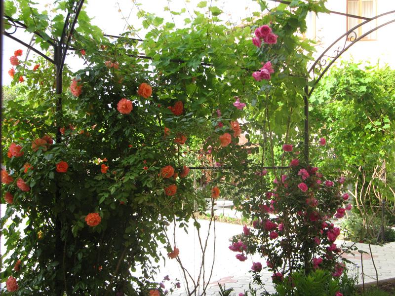 Вьющиеся розы ещё красивее обычных