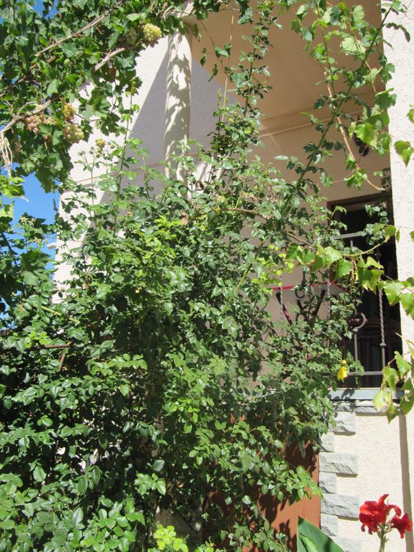 Рвать виноград можно прямо с балкона