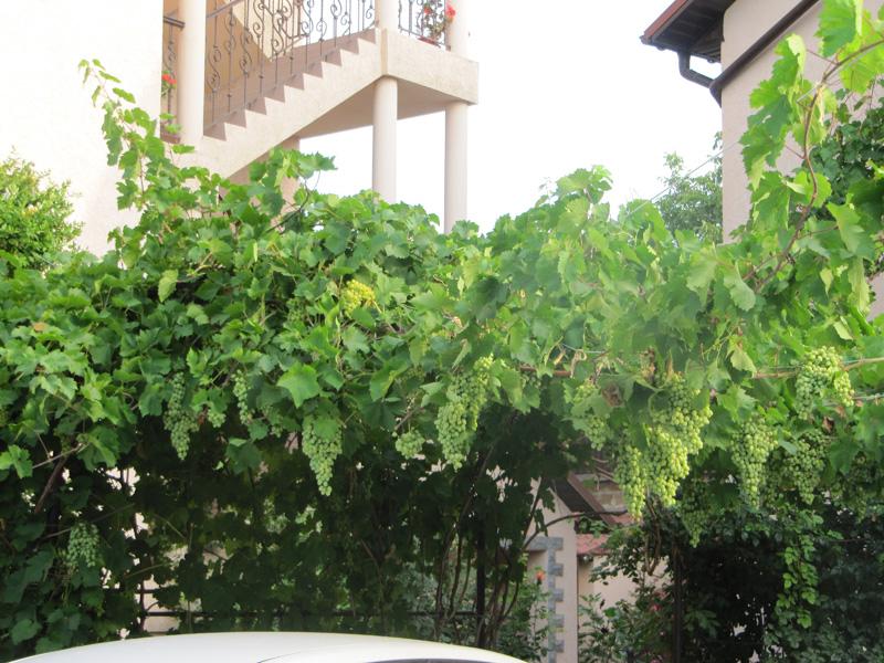 Урожай винограда в Крыму богатый